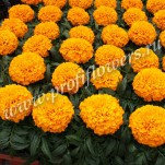 7 Tagetes erecta  Antigua Orange_04TE 020-01 HR Antigua F1 Orange1