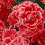Begonia tuberous F1 On Top_Melon Lace