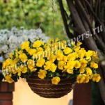 4 Pansy Cool Wave Golden Yellow mini