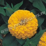 Zinnia Dreamland  Yellow FZN-624-01