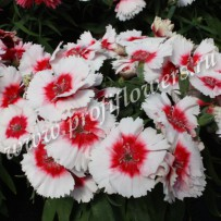 dianthus diana red cenred