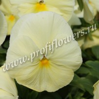 viola cello lemon yellow