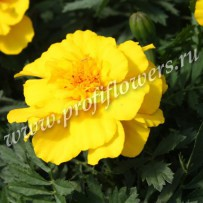 tagetes alumia yellow