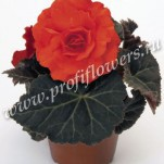 2 begonia-tuberhybrida-nonstop-mocca-deep-orange-c7520-1