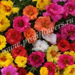4_Общий вид_Portulaca Happy Hour Mix