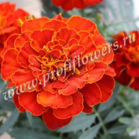 tagetes alumia red