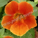 5 Mimulus Maximus Orange 046639