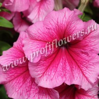 petunia bravo rose veined