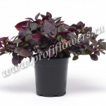 Alternanthera_Purple_Prince_mini