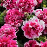 4 Petunia grandiflora Double Pirouette  Rose_PET08-7067