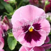 viola cello pink shades with blotch