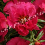 9 Portulaca Happy Hour Fuchsia POR10-10001