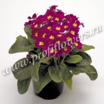 4 Primula Crescendo Wine mini2