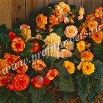 Begonia tuberous F1 On Top_Sunset Shades