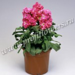 8 Matthiola Cinderella Hot Pink mini