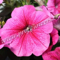 petunia mambo gp rose veined