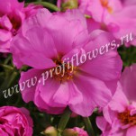 7 Portulaca Happy Hour Rosita POR10-10002