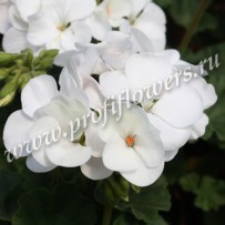 pelargonium nano white