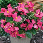 3 Begonia semperflorens Bada Bing Rose_HR_goldsmith_BAB213R47
