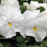 3 Viola Mammoth White hot_MMTW47