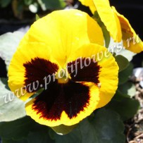 viola inspire yellow with blotch