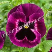 Виола крупноцветковая Селло