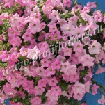2 _Petunia Diamond Pearly Shades Velvet F1
