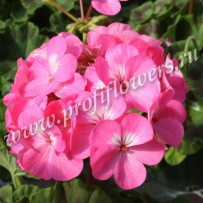 pelargonium horizon rose