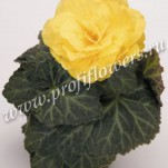 3 begonia-tuberhybrida-nonstop-mocca-yellow-c7500-1