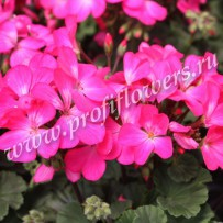 pelargonium nano deep rose