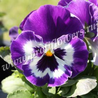 viola inspire purple  white