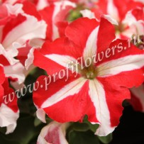 petunia ultra red star