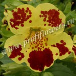 3 Mimulus Maximus Yellow Blotch 046651