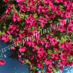 1 _Petunia hybrida Diamond Purple F1 (1)