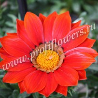 gazania new day red shades