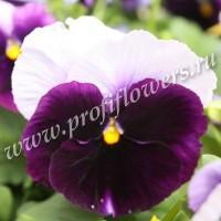 Виола крупноцветковая Дельта