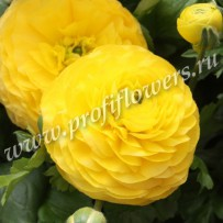 ranunculus bloomingdale golden shades