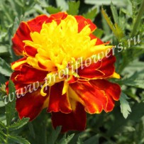 tagetes cresta spry