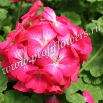 pelargonium apache rose bicolor