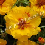 1 Portulaca Happy Hour Banana POR10-10005