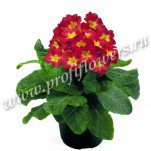 3 Primula Crescendo Bright Red  mini