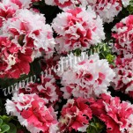 3 Petunia grandiflora Double Pirouette  Red_PET08-7066