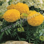 1 Tagetes erecta  Antigua Gold_HR_goldsmith_ANTG01