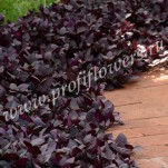 Alternanthera_Purple_Prince_2_mini