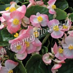 4 Begonia semperflorens Bada Bing Rose Bicolor1_HR_goldsmith_BABR5112