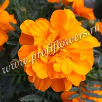 tagetes alumia orange