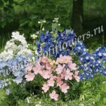 Delphinium grandiflorum Summer Colours