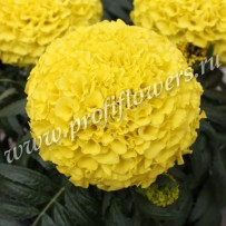 tagetes taishan yellow