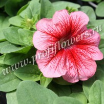 petunia limbo gp red veined