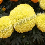 8 Tagetes erecta  Antigua Primrose_ HR_goldsmith_